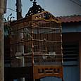 民家で飼われる野鳥 昔の日本も野鳥を飼っていた