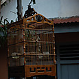 民家で飼われる野鳥