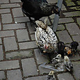 放し飼いの鶏たち