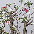 インドネシアの有名な花だそうです
