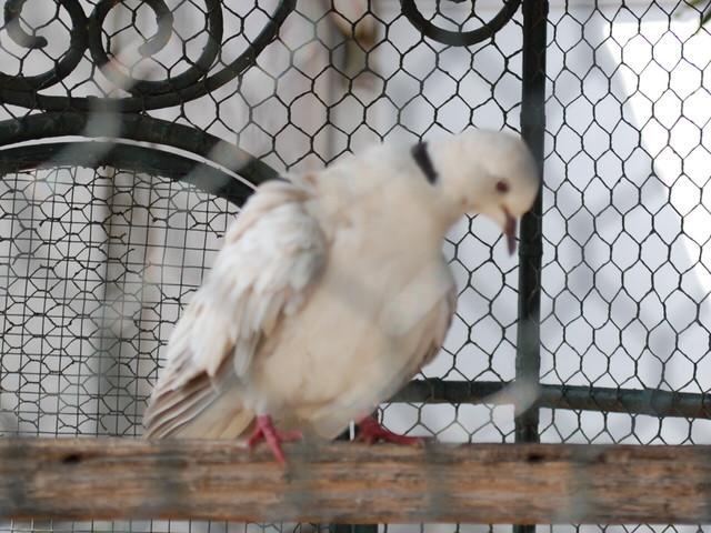 王宮で飼われていた幸運の白い鳩